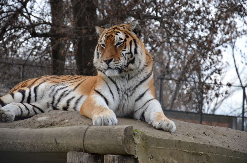 Siberian Tiger in Skopje Zoo