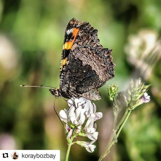 Fotorafn sahibi  photo by koraybozbay nature natural naturelovers butterflyhellip