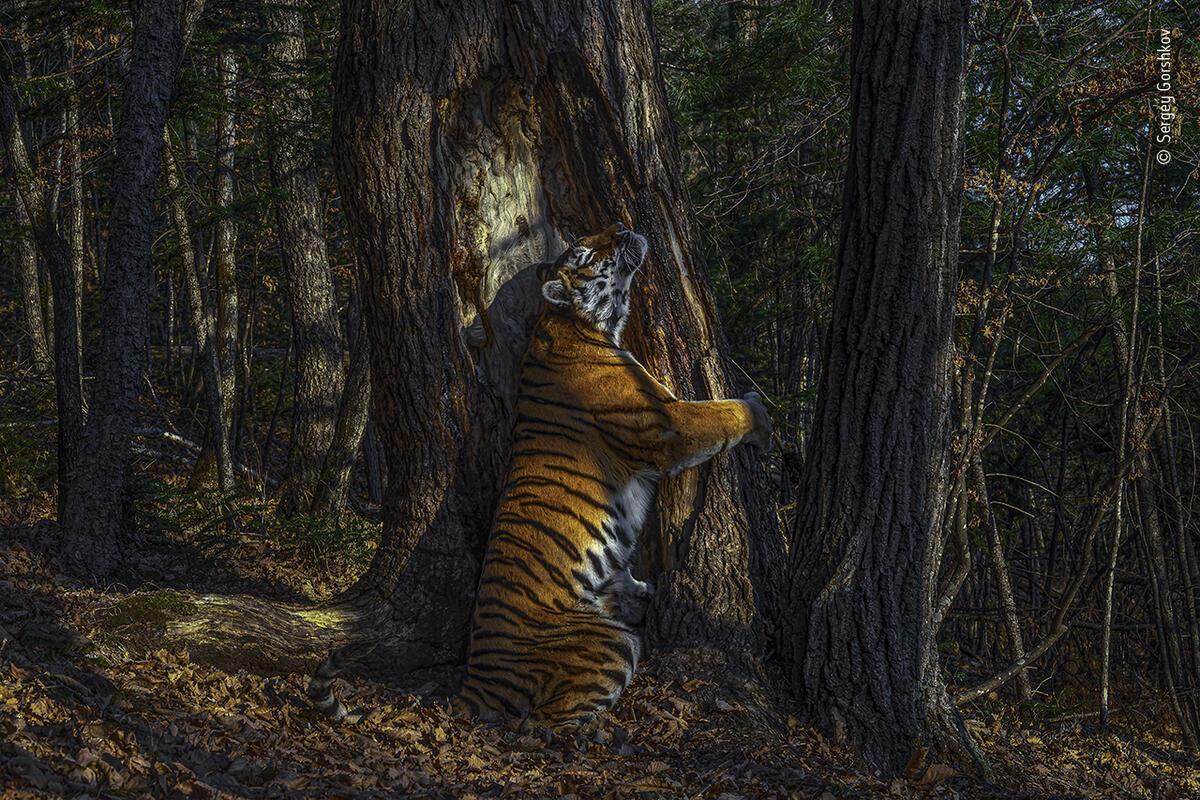 2020 Vahşi Yaşam Fotoğrafçısı Yarışması'nın Ana Ödülünü kazanan Rus fotoğrafçı Sergey Gorshkov'un Sibirya kaplanı görüntüsü