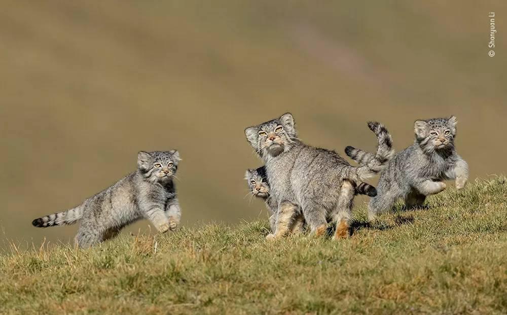 Yarışmanın 'Davranış: Memeliler' kategorisinin kazananı Çinli fotoğrafçı Shanyuan Li'nin fotoğrafında nadir görülen yabani bir kedi türü olan pallas kedileri görüntülen
