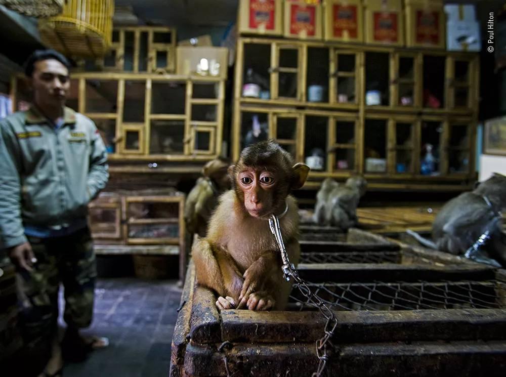 Yarışmanın Vahşi Yaşam Fotoğraf Muhabirliği Ödülü'nü alan Avustralya asıllı İngiliz fotoğrafçı Paul Hilton'un fotoğrafı, Bali'deki hayvan pazarında çekildi
