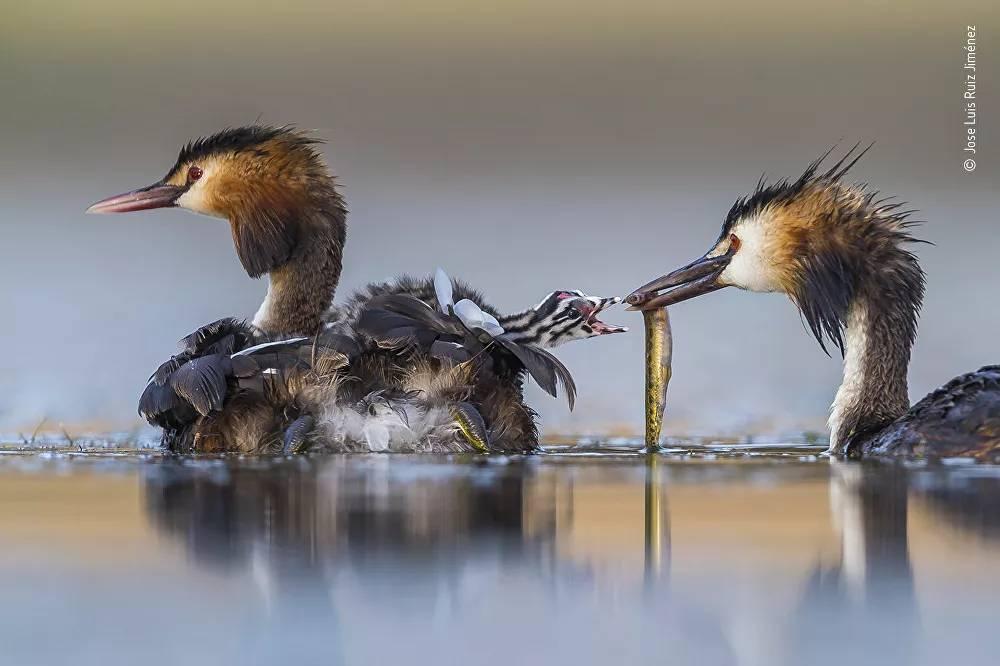2020 Yılının Vahşi Yaşam Fotoğrafçısı Yarışması'nın 'Davranış: Kuşlar' kategorisinde birinci seçilen İspanyol fotoğrafçı Jose Luis Ruiz Jiménez'in çalışması